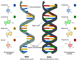 Difference_DNA_RNA-EN.svg