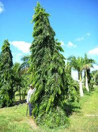 Ashook tree